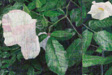 Rose, 2010-11 oil on canvas diptych 72 x  72 each, 72 x 144 total