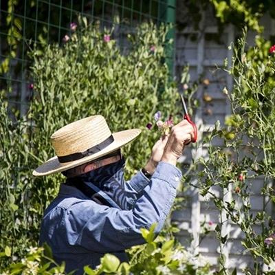 """A Houston gardener shares love with sweet peas"" Hiram Butler in The Houston Chronicle"